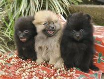 Filhotes de cachorro de Pomeranian Fotografia de Stock