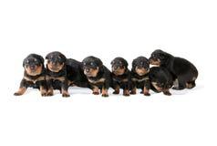 Filhotes de cachorro de Rottweiler Foto de Stock
