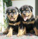 Filhotes de cachorro de Rottweiler Imagens de Stock