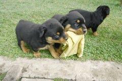 Filhotes de cachorro de Rottweiler Fotos de Stock