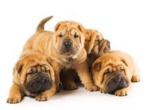 Filhotes de cachorro de Sharpei Imagem de Stock Royalty Free