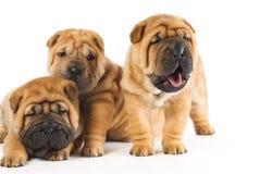Filhotes de cachorro de Sharpei Imagem de Stock