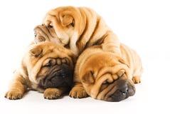 Filhotes de cachorro de Sharpei Foto de Stock