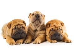 Filhotes de cachorro de Sharpei Fotos de Stock