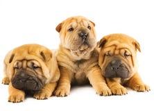 Filhotes de cachorro de Sharpei Imagens de Stock