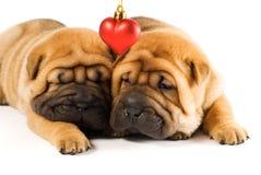 Filhotes de cachorro de Sharpei no amor Fotografia de Stock