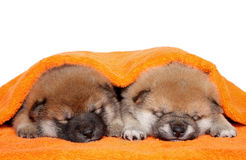 Filhotes de cachorro de Shiba Inu no fundo branco Fotos de Stock Royalty Free