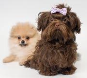 Filhotes de cachorro de um spitz-cão e de um cão de regaço da cor no estúdio Foto de Stock