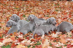 Filhotes de cachorro de Weimaraner Imagens de Stock Royalty Free
