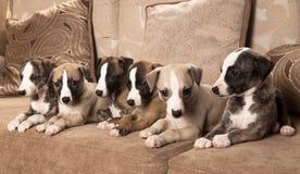 Filhotes de cachorro de Whippet Fotos de Stock