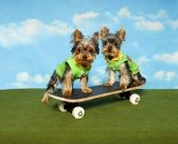 Filhotes de cachorro de Yorkie em uma placa do patim Foto de Stock Royalty Free