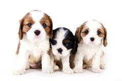 Filhotes de cachorro descuidados Fotos de Stock