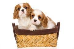 Filhotes de cachorro descuidados do Spaniel de rei Charles Fotografia de Stock