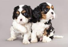 Filhotes de cachorro descuidados do spaniel de rei Charles Foto de Stock Royalty Free