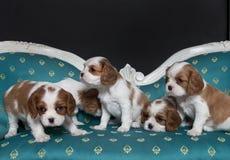 Filhotes de cachorro descuidados do Spaniel de rei Charles Imagem de Stock