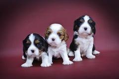 Filhotes de cachorro descuidados do Spaniel de rei Charles Fotos de Stock