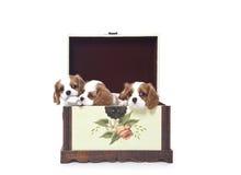 Filhotes de cachorro descuidados do Spaniel de rei Charles Imagens de Stock