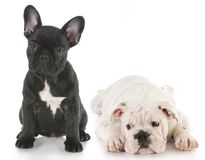 Filhotes de cachorro do buldogue Foto de Stock Royalty Free