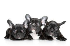 Filhotes de cachorro do buldogue francês em um fundo branco Fotos de Stock