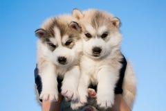 Filhotes de cachorro do cão de puxar trenós Siberian foto de stock