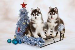 Filhotes de cachorro do cão de puxar trenós Siberian Imagens de Stock