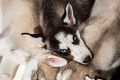 Filhotes de cachorro do cão de puxar trenós Siberian fotografia de stock royalty free