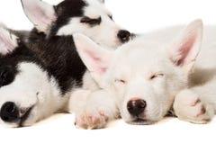 Filhotes de cachorro do cão de puxar trenós Siberian fotos de stock
