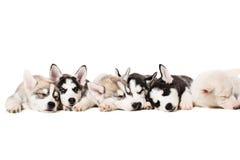 Filhotes de cachorro do cão de puxar trenós Siberian imagem de stock royalty free