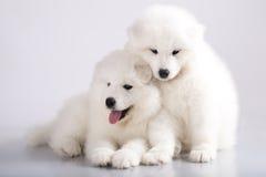 Filhotes de cachorro do cão do Samoyed Fotografia de Stock