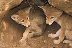 Filhotes de cachorro do chacal no antro Imagem de Stock