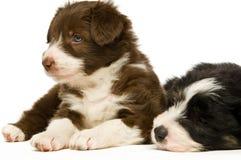 Filhotes de cachorro do Collie de beira Imagem de Stock Royalty Free