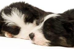 Filhotes de cachorro do Collie de beira Imagens de Stock