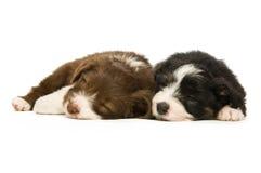 Filhotes de cachorro do Collie de beira Fotos de Stock