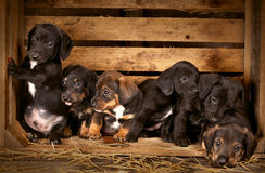 Filhotes de cachorro do Dachshund 3 semanas velhos Fotos de Stock Royalty Free