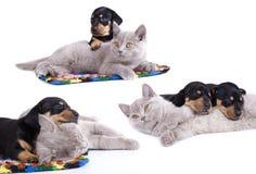 filhotes de cachorro do gatinho e do dachshund Imagem de Stock Royalty Free