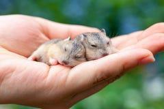 Filhotes de cachorro do hamster que dormem na palma Imagem de Stock Royalty Free