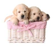 Filhotes de cachorro do laboratório Imagem de Stock Royalty Free