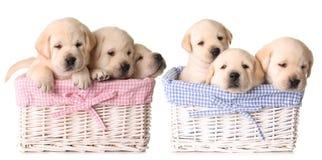 Filhotes de cachorro do laboratório Imagem de Stock