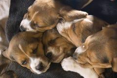 Filhotes de cachorro do lebreiro Foto de Stock