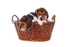 Filhotes de cachorro do lebreiro em uma cesta Foto de Stock