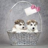 Filhotes de cachorro do malamute do Alasca em uma cesta imagem de stock