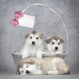 Filhotes de cachorro do malamute do Alasca em uma cesta imagens de stock