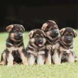 Filhotes de cachorro do pastor alemão Fotografia de Stock Royalty Free