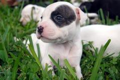 Filhotes de cachorro do pitbull Fotografia de Stock