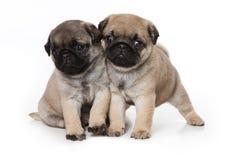 Filhotes de cachorro do Pug Fotografia de Stock