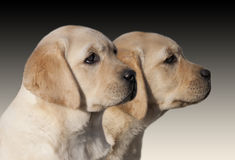 Filhotes de cachorro do Retriever de Labrador Imagem de Stock Royalty Free