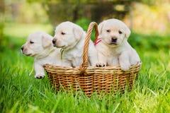 Filhotes de cachorro do Retriever de Labrador em uma cesta Foto de Stock Royalty Free
