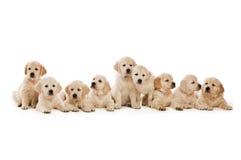 Filhotes de cachorro do Retriever dourado Foto de Stock Royalty Free