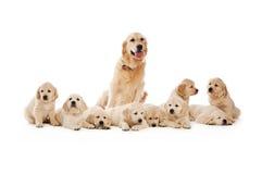 Filhotes de cachorro do Retriever dourado Imagem de Stock