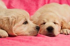 Filhotes de cachorro do Retriever dourado Fotografia de Stock Royalty Free